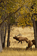 Bull elk, bugling, Cervus Canadensis, rut, harem of cows, Charles M Russell National Wildlife Refuge, Montana