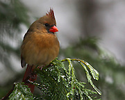 Female cardinal on a branch.