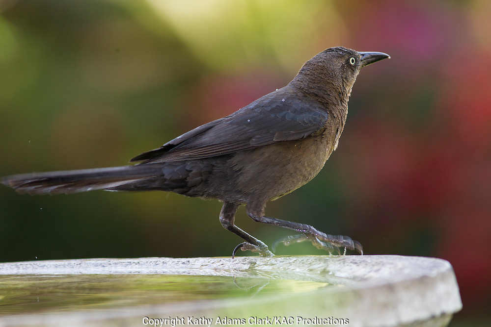 Great-tailed grackle, Quiscalus mexicanus, bathing in a bird bath, central highlands, Costa Rica.