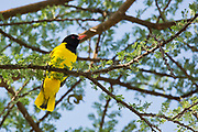 The black-headed oriole (Oriolus larvatus) male perching on a branch. This thrush-sized bird generally lives in trees and feeds on insects and fruits. The male possesses brightly-coloured plumage, the female being less conspicuous. Photographed in Ethiopia