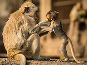 30 NOVEMBER 2014 - LOPBURI, LOPBURI, THAILAND: A female Long Tailed Macaque monkeys feeds one of her offspring in Lopburi. Lopburi is the capital of Lopburi province and is about 180 kilometers from Bangkok. Lopburi is home to thousands of Long Tailed Macaque monkeys. A regular sized adult is 38 to 55cm long and its tail is typically 40 to 65cm. Male macaques weigh around 5 to 9 kilos, females weigh approximately 3 to 6 kg. The Monkey Buffet was started in the 1980s by a local business man who owned a hotel and wanted to attract visitors to the provincial town. The annual event draws thousands of tourists to the town.    PHOTO BY JACK KURTZ