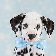 20150412 Dalmatian Puppies