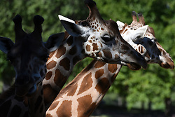Two rothschild giraffes pictured at Madrid zoo. The Rothschild's giraffe (Giraffa camelopardalis rothschildi) is one of the most endangered distinct populations of giraffe, with 1671 individuals estimated in the wild in 2016. (Photo by Jorge Sanz / Pacific Press) *** Please Use Credit from Credit Field ***