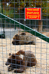 ROMANIA ZARNESTI 25OCT12 - Misha (foreground) and Sammy, Eurasian brown bears inside the Hauser enclosure at the Zarnesti Bear Sanctuary in Romania, funded by WSPA.....With over 160 acres (70 hectares) spread over a wooded hillside, it is Romania's first bear sanctuary and today houses 67 bears rescued from ramshackle zoos and cages at roadside restaurants.....jre/Photo by Jiri Rezac / WSPA....© Jiri Rezac 2012