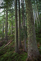Old growth trees, Mount Rainier National Park, Washington, USA.