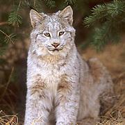 Canada Lynx, (Lynx canadensis) Portrait. Captive Animal.
