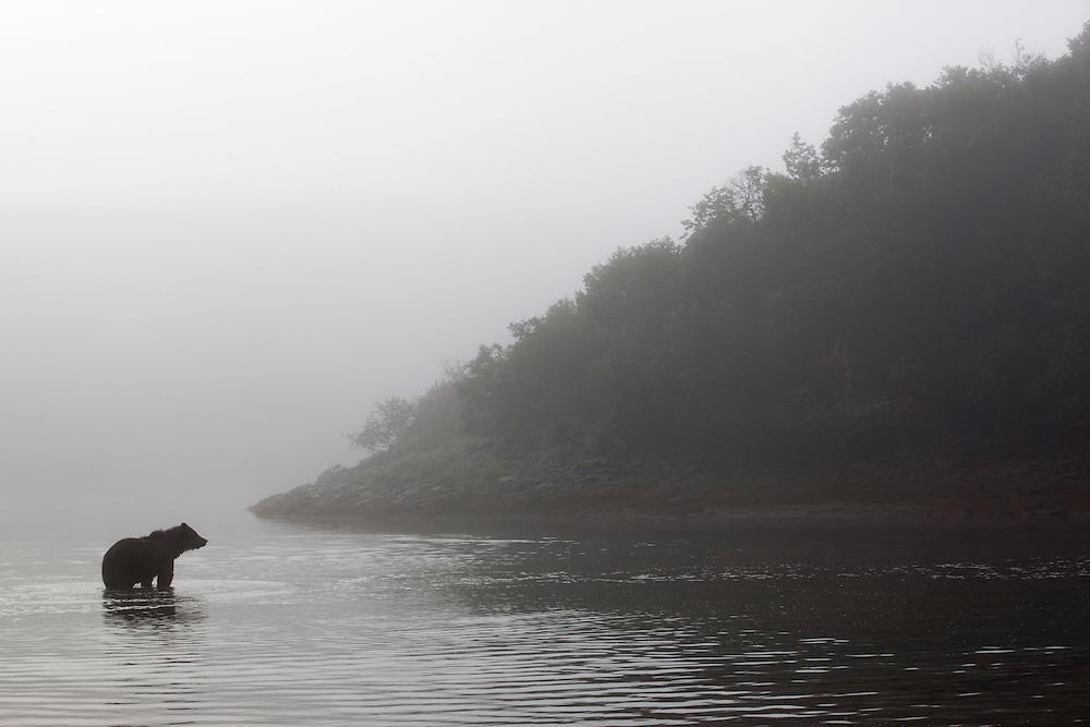 USA, Alaska, Katmai National Park, Grizzly Bear (Ursus arctos) wades through shallow water in morning fog along Kinak Bay