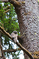 A barred owl in the woods outside the visitors' center at Fort Clatsop, a replica of the fort where Lewis and Clark overwintered in 1805-1806 near Astoria, Oregon in the Pacific Northwest near the mouth of the Columbia River