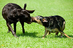 A playful Black and Tan mongrel dog chases and play fights with a Chocolate Brown Labrador for a small toy ball in a local Park<br />