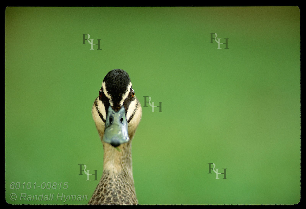 Black duck poses for head portrait against a solid green field of grass; Wagga Wagga, NSW. Australia