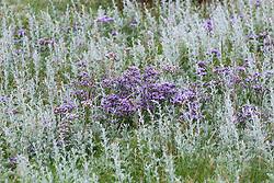Common Sea Lavender  and Sea Wormwood growing wild on the salt marsh at Stiffkey, Norfolk. Limonium vulgare, Artemisia maritima