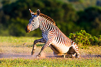 Cape Mountain Zebra dust bathing , De Hoop Nature Reserve, Western Cape, South Africa