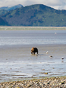 An Alaska coastal brown bear digs for clams in the tidal flat of Chinitna Bay, Lake Clark National Park, Alaska.