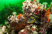 A China Rockfish, Sebastes neulosus, swims among anemones offshore Browning Passage, Vancouver Island, British Columbia, Canada.