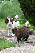 Standoff confrontation between a playful Springer Spaniel dog and a wary scared cat in a garden in England