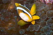 Bulb Tentacle Sea Anemone (entacmaea quadricolor) and Barrier Reef Anemonefish (Amphiprion akindynos) - Agincourt Reef, Great Barrier Reef, Queensland, Australia. <br />