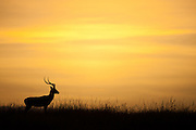 Impala (Aepyceros melampus) walking in the grassland at sunrise
