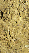 Footprints of a Striped Hyena (Hyaena hyaena) Photographed in the Arava desert, israel in November