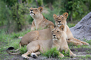 A group of lioness in the Linyati Wildlife Reserve, Botswana. http://www.gettyimages.com/detail/photo/pride-of-lions-botswana-royalty-free-image/97936420