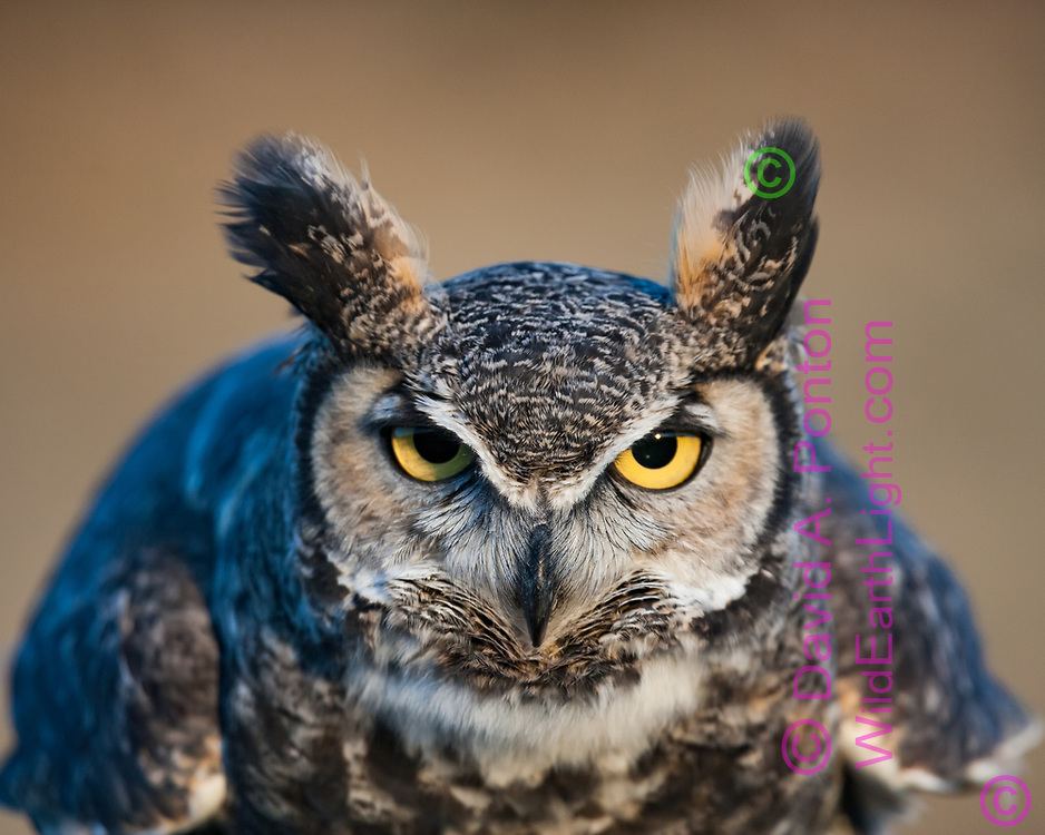 Great-horned owl portrait, with owl leaning forward aggressively towards point of view, ear tufts prominent. © 2005 David A. Ponton