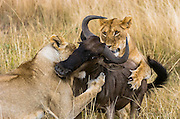 Two female lions (Panthera leo) attack a Blue Wildebeest (Connochaetes taurinus), Masai Mara, Kenya, East Africa