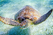 A loggerhead sea turtle in Akumal Bay in Yucatán. Endangered sea turtles have been protected in Mexico since 1990, and both the government and private volunteers have done great work preserving their habitat and helping the turtles.<br /> Now the turtles are in trouble again, and protected habitats can do little to help them. Global warming cause sea level rise, which erode the beaches where the turtles lay their eggs. Warmer weather also affect the gender of the turtle hatchlings. Turtles are reptiles, and the gender is determined by the temperature in the nest. The cooler area of a nest will typically produce more males, while the warmer part will become females. On the Pacific coast of Costa Rica, nests are now producing between 70 and 90 percent female hatchlings. Coral reefs are a vital food source for sea turtles, and the Caribbean region has lost fifty percent of its corals since 2005 largely due to warmer oceans.