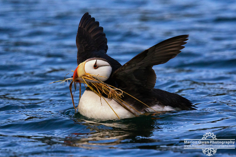Horned puffin with nesting materials in its beak