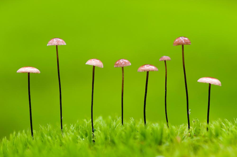Horsehair parachute mushrooms (Marasmius androsaceus), Pripyatski National Park, Belarus.