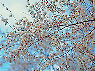 Cherry Blossom Branches, Brooklyn Botanic Garden, Brooklyn, New York
