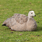 Cape Barren Goose, Kangaroo Island, Australia