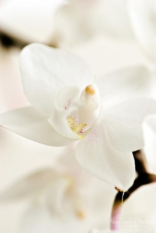 Phalaenopsis Orchid 'Christopher' Keukenhof Spring Tulip Gardens, Lisse, The Netherlands.
