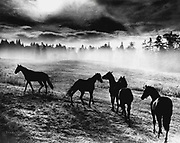 Horses roam the early morning pastures of Woodinville (Josef Scaylea / The Seattle Times, 1964)