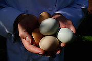 handful of farm fresh organic multi-colored eggs