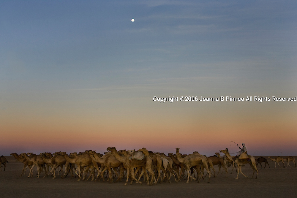 Dongola. A camel caravan travels through the Sahara Desert, Sudan.150,000 camels travel from Sudan to Egypt yearly to be sold.