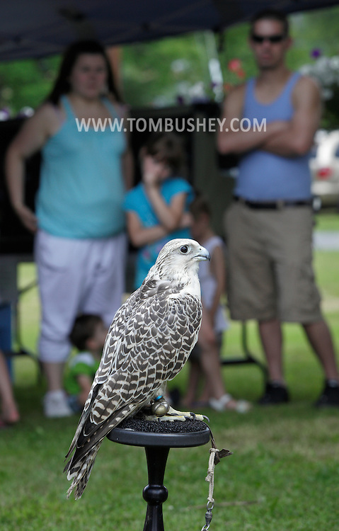 Bloomingburg, New York - A gyrfalcon sits on its perch while a falconer talks about the bird at a farm on June 20, 2010. The gyrfalcon is the largest falcon in the world and inhabits arctic regions.