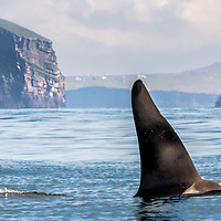 2017 Killer Whales of Iceland