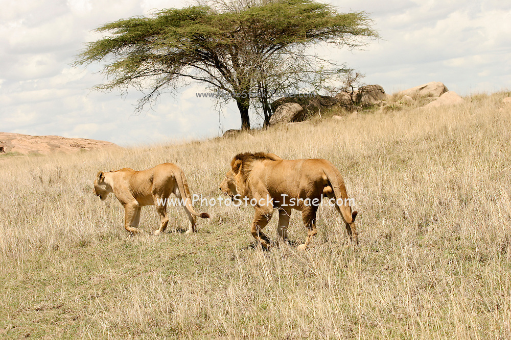 Africa, Tanzania, Ngorongoro Conservation Area (NCA), Lion and lioness walk in the savanna