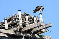 Osprey (Pandion haliaetus) defending nest from intruder, Petite Riviere, Nova Scotia, Canada,