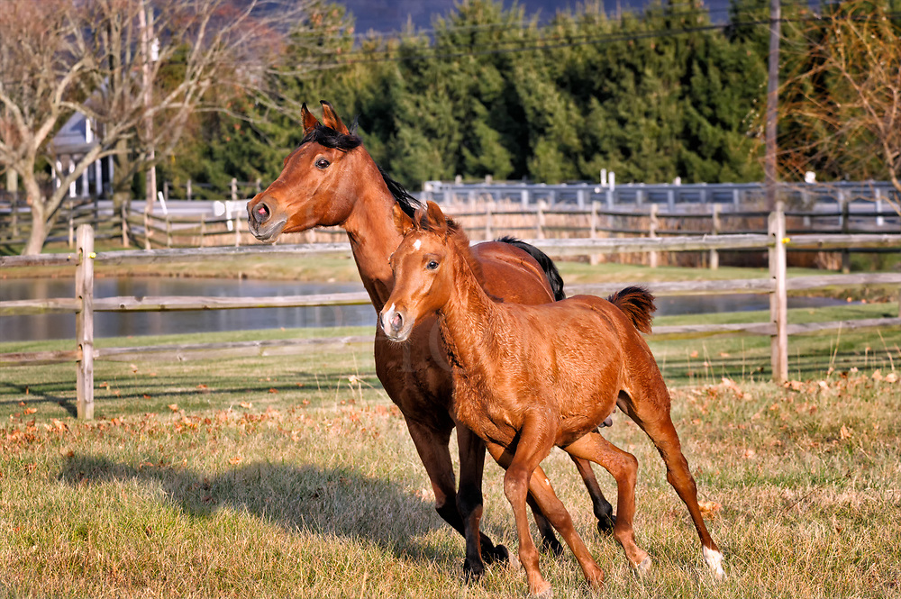 A mare and her baby colt following right by her side like a practiced wingman, running together leaning into a turn in strong sunlight.
