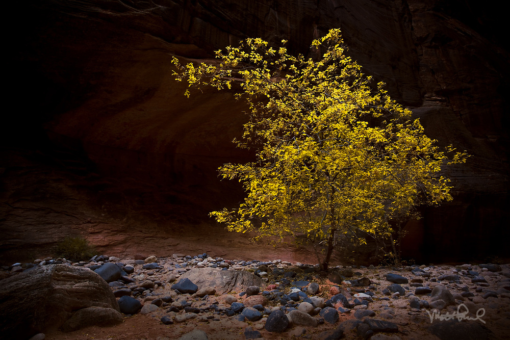 Deep with the Narrows I came across this beautiful tree. It's pretty amazing they cling to life on a riverbed way down in a slot canyon.