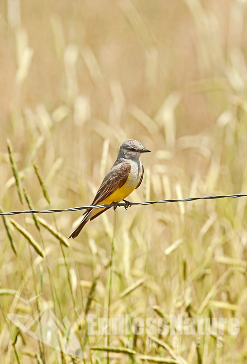 The Western Kingbird has plumage colors that are a lemon yellow underside and a medium gray head this bird is also a flycatcher it feeds by grabbing insects in flight.
