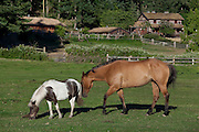 Horses gazing in pasture, farm with log house