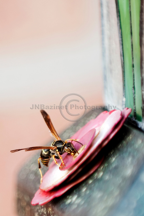 A paper wasp attempting to extract nectar from a hummingbird feeder.