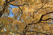The fall foliage of a Star Magnolia (Magnolia stellata) at Queen Elizabeth Park in Vancouver, British Collumbia, Canada.