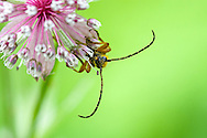 A Longhorned Beetle covered in pollen crawls on the flowers of an Astrantia major plant