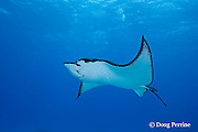 spotted eagle ray, Aetobatus narinari, at Eagle Ray City, Saipan, Commonwealth of Northern Mariana Islands, Micronesia ( Western Pacific Ocean )