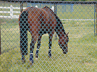 2006 Kentucky Derby champion, Barbaro, working out at Fair Hill Training Center, Fair Hill, MD on May 12, 2006