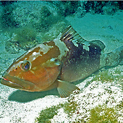 Red Grouper inhabit reefs in Tropical West Atlantic; picture taken Dry Tortugas, FL.