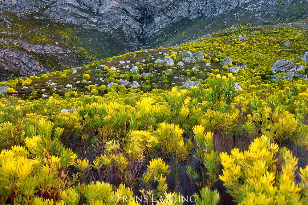 Blooming conebush proteas in fynbos, Leucadendron coniferum, Kogelberg Reserve, South Africa