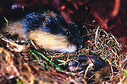 The Norway lemming (also Norwegian lemming), Lemmus lemmus, is a common species of lemming found in northern Scandinavia and adjacent areas of Russia. It is the only vertebrate species endemic to the region. The Norway lemming dwells in tundra and fells, and prefers to live near water. Adults feed primarily on sedges, grasses and moss. They are active at both day and night, alternating naps with periods of activity.   Der Berglemming (Lemmus lemmus) ist eine Art der Echten Lemminge (Lemmus), die in subarktischen und arktischen Gebieten Skandinaviens und der Kolahalbinsel lebt. Norwegen